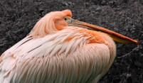 Pelican_small