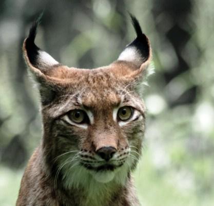 Lynx klein2