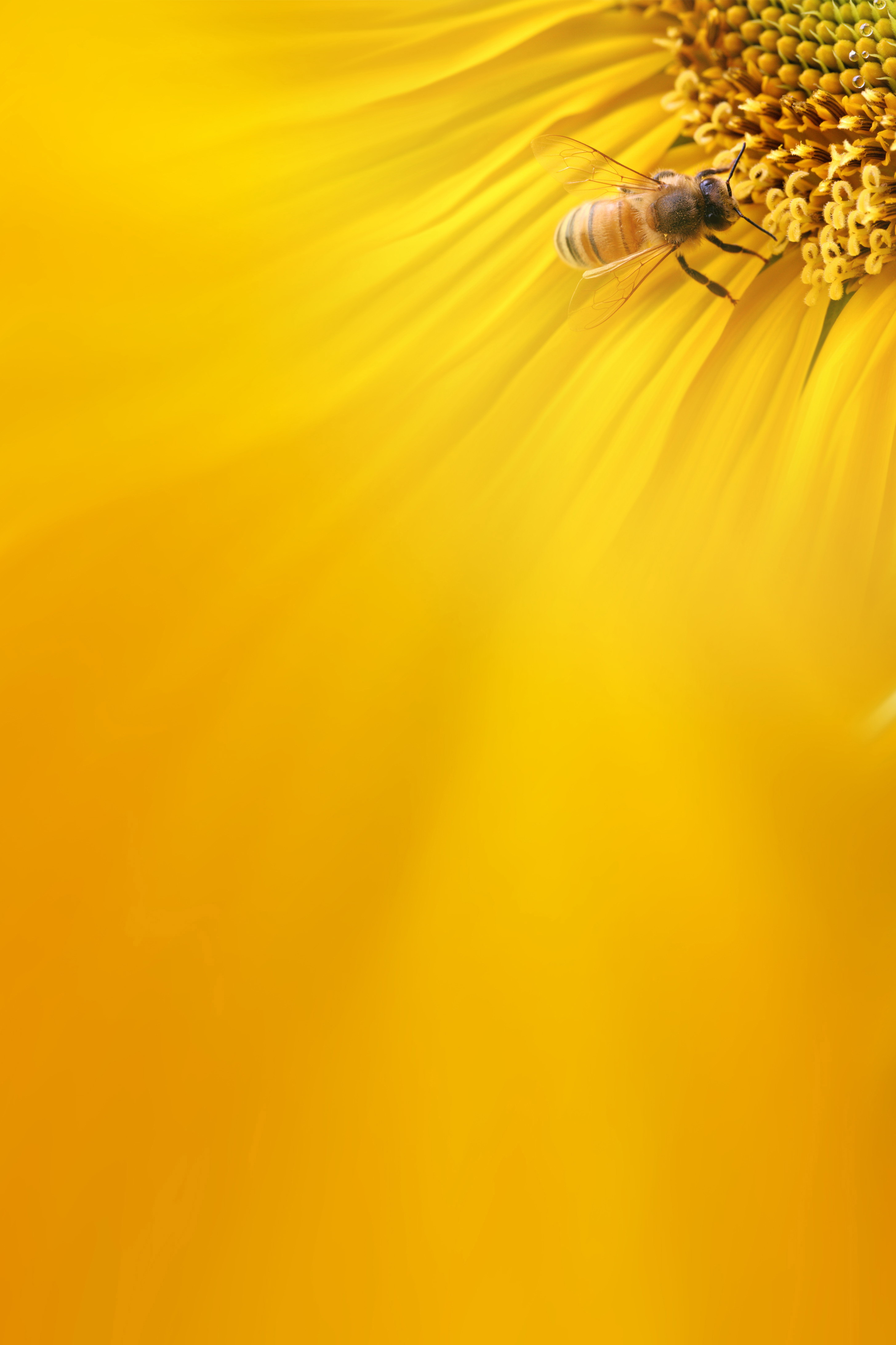 Honey Bees Background Bee Collecting Nectar Yellow Background Image For Free Download