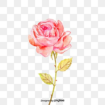 Red Rose PNG Images Vectors And PSD Files Free