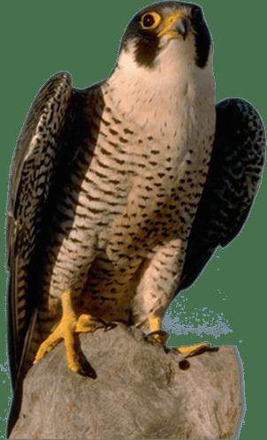 rottmann mbelwerksttten gmbh falcon png
