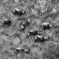 Cabra montesa na Serra do Gerês...