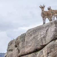 Cabra-Montês – Capra Pyrenaica