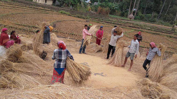 भक्तपुरका कृषकलाई धान भित्र्याउने चटारो