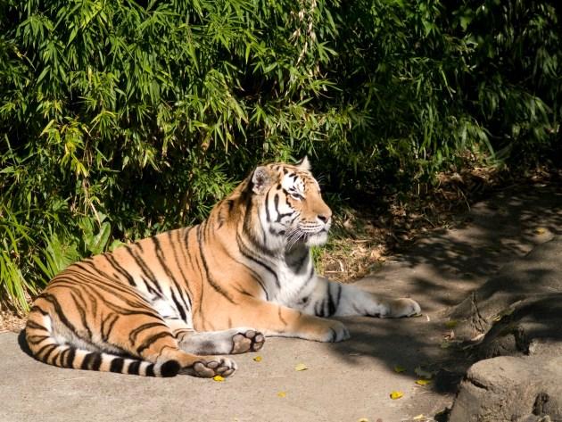 Tiger sunning himself - Oregon Zoo