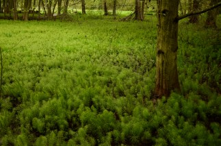 Horsetails (Equisetum sp.)