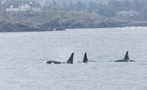 Orcas - 5