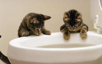 Kucing melihat di tandas