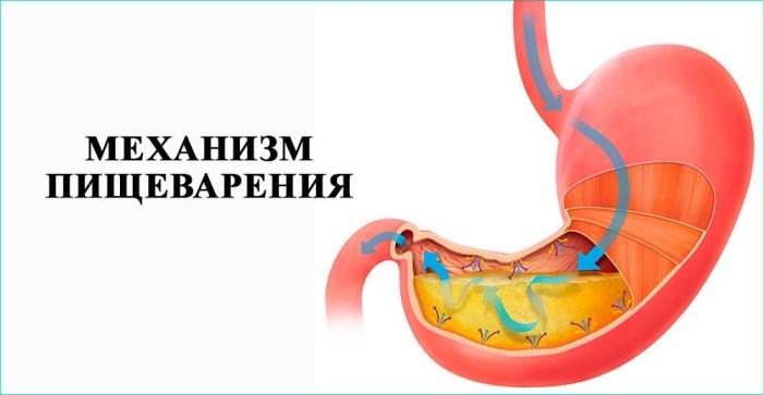 Механизм пищеварения