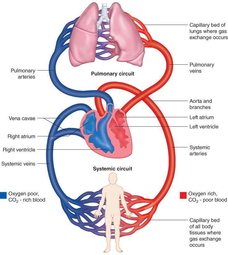 Diagrammatic illustration of human cardiovascular system.