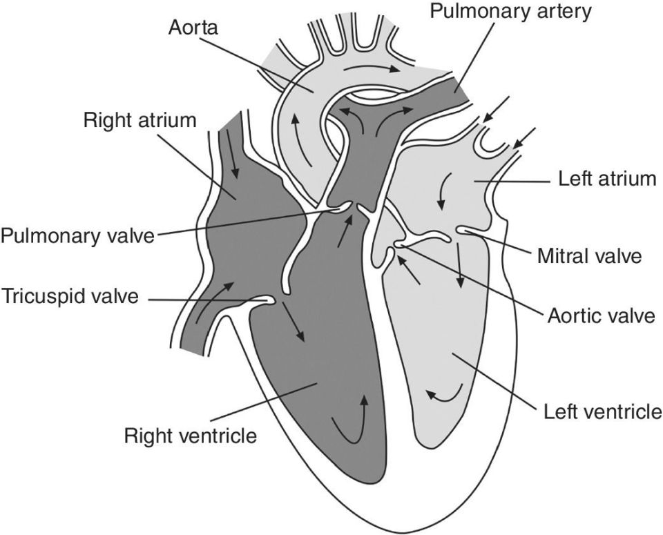 Illustration of the heart displaying the flow of the blood through the chamber and large vessels with its parts labeled as pulmonary artery, left atrium right atrium, pulmonary valve, mitral valve, etc.