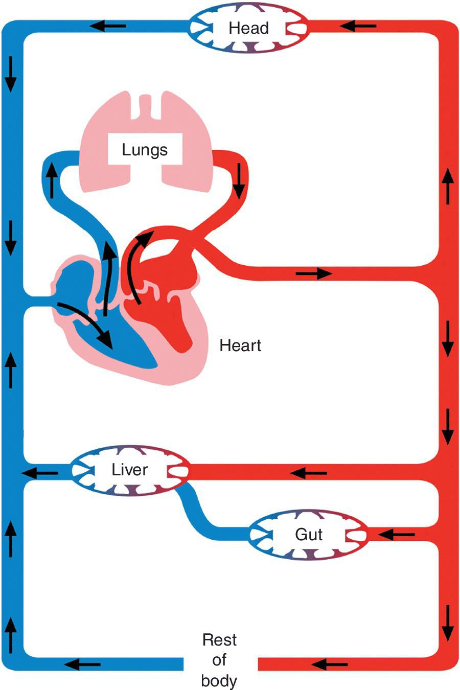 Schematic illustrating the circulation of blood through the vascular system. Arrows depict blood flow into the head, lungs, heart, liver, gut and the rest of the body.