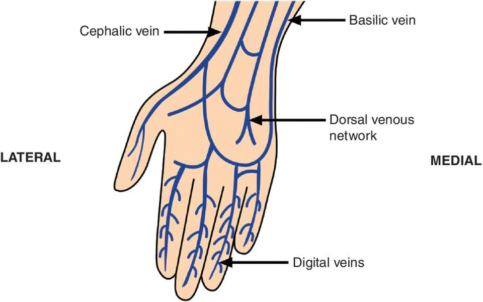 Illustration displaying veins of the dorsum of the hand. Veins (arrowed) are labeled basilic vein, cephalic vein, dorsal venous network, and digital veins.