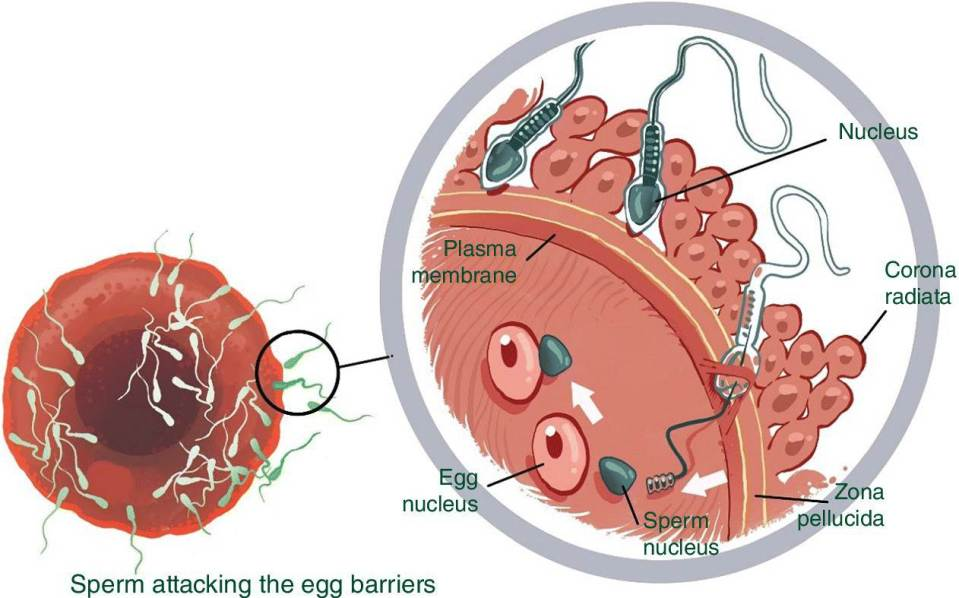 Illustration of the fertilization with an enlarge view (left) of the sperm attacking the egg barriers.