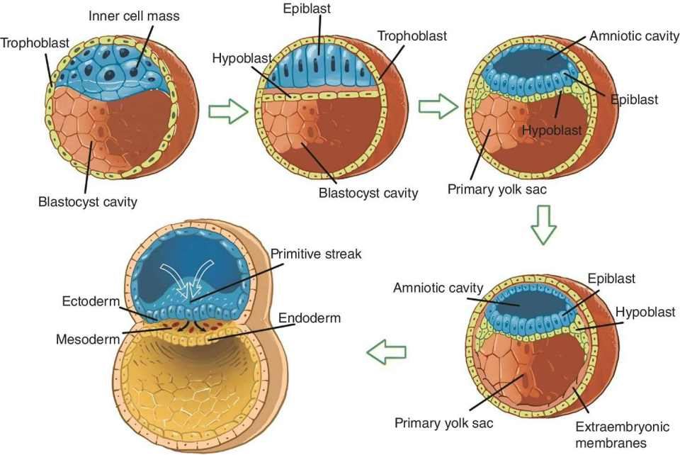 Illustration of gastrulation with lines depicting trophoblast, inner cell mass, epiblast, amniotic cavity, ectoderm, mesoderm, blastocyst cavity, hypoblast, epiblast, extraembryonic, and primary yolk sac.