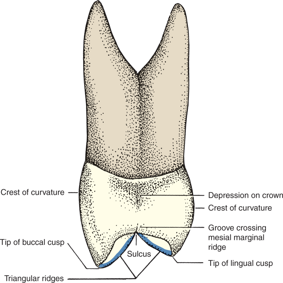 An illustration shows the mesial view of a maxillary two-cusped premolar.