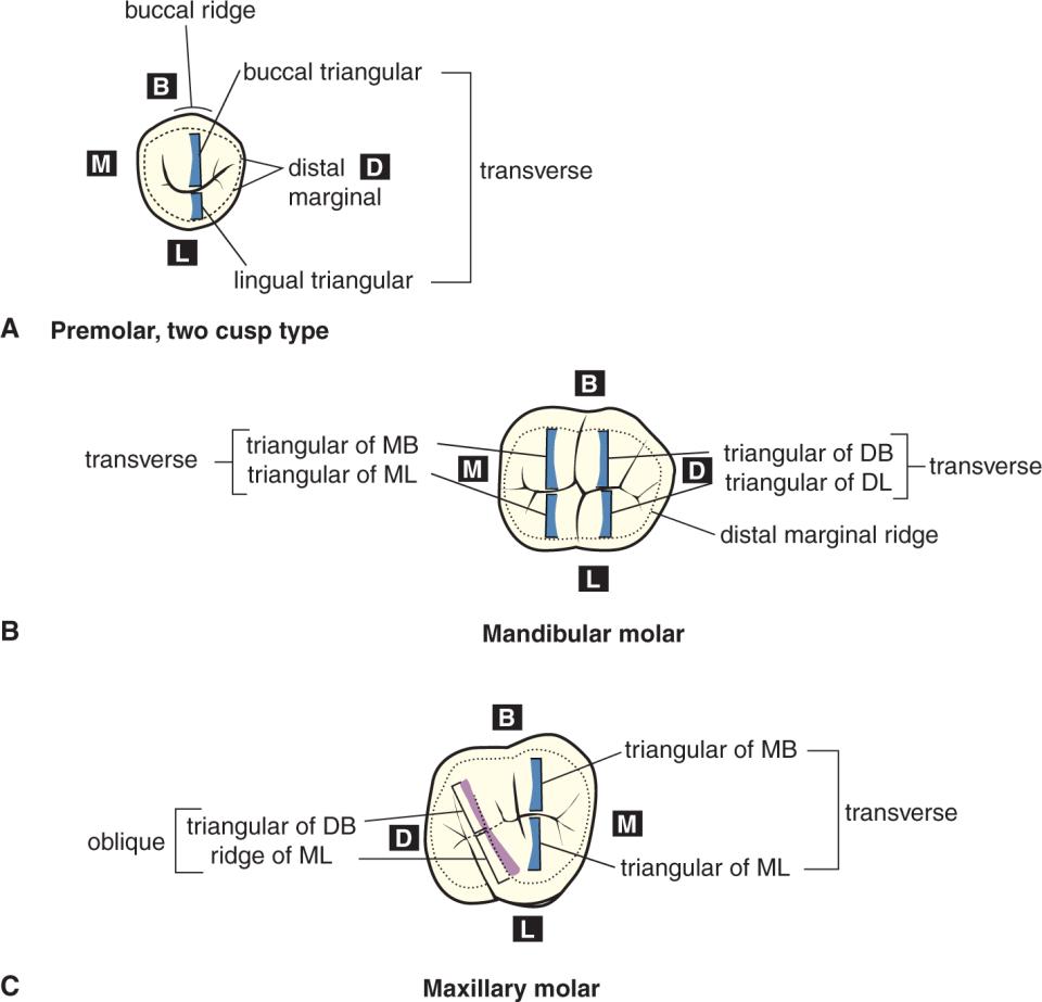 Three illustrations, A through C, show ridges in the teeth.