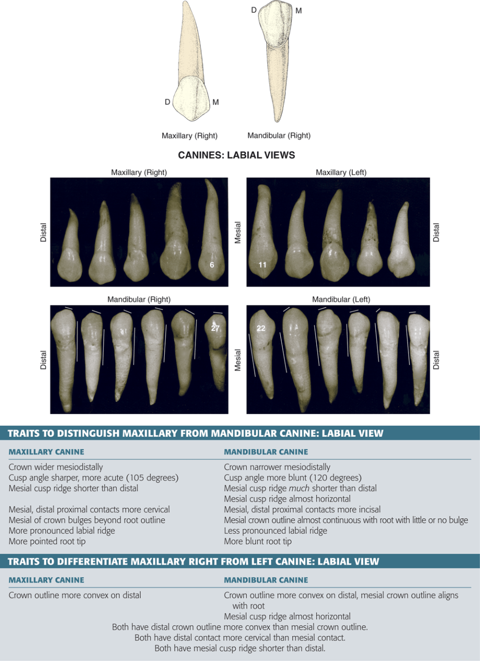 An illustration and four photos show the labial views of canines.