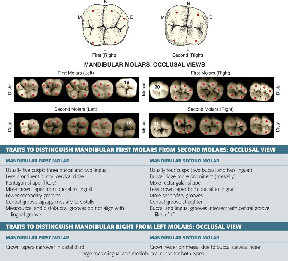 An illustration and a photo shows the mandibular right second molar with its three fossae and mandibular left second molar.
