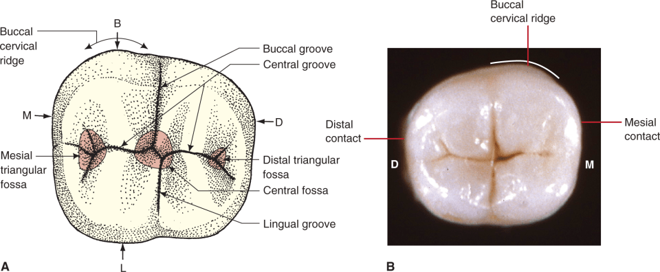 A photo shows the occlusal view of mandibular first molar.