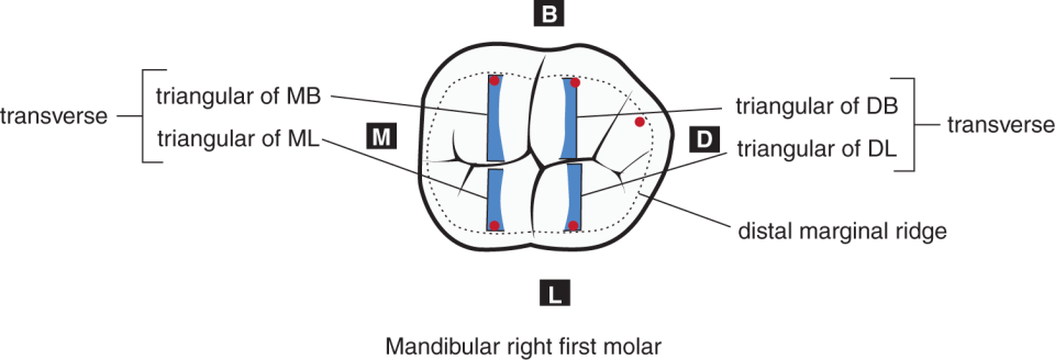 An illustration and a photo show the occlusal view of five-cusped mandibular right first molar.