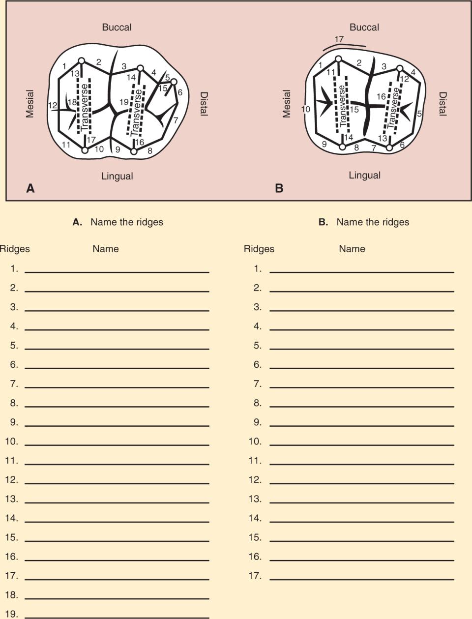 An illustration and a photo show maxillary molar