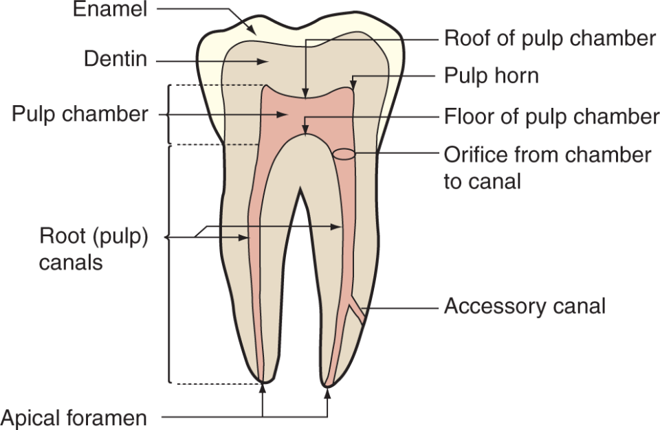 An illustration shows the parts of the pulp cavity.