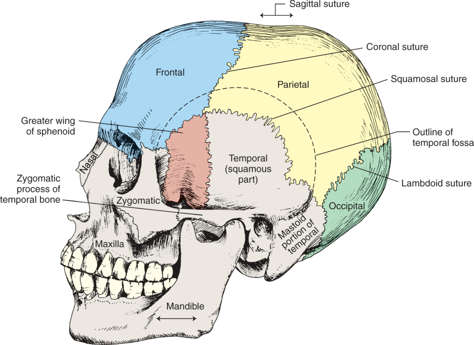 An illustration shows the left side of the human skull. It shows the large bones of the neurocranium: