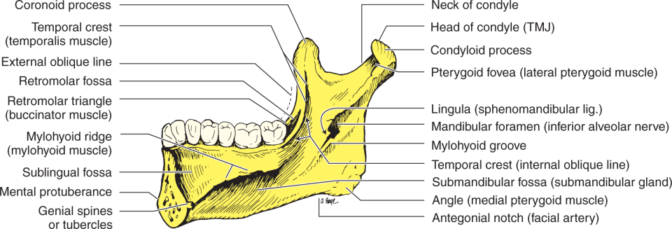 An illustration shows the medial surface of the mandible.