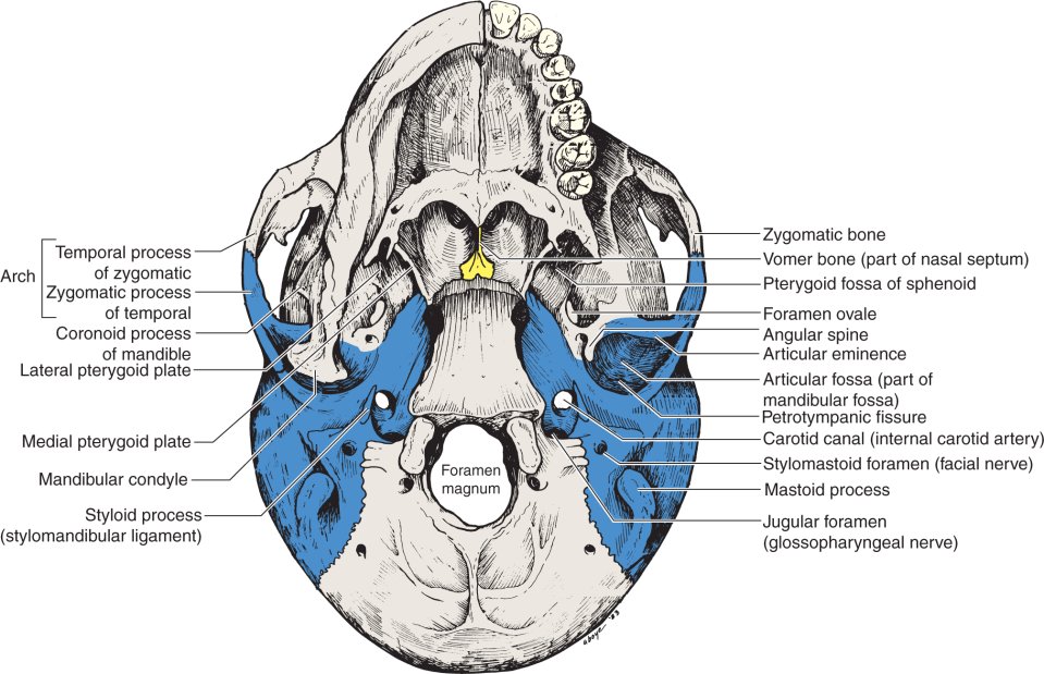 An illustration shows the inferior surface of the human skull with half of the mandible removed on the right side.