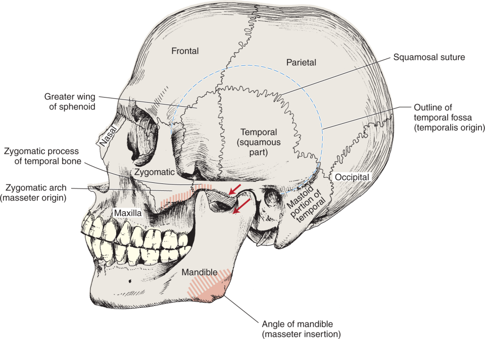 An Illustration shows the left side of the human skull.