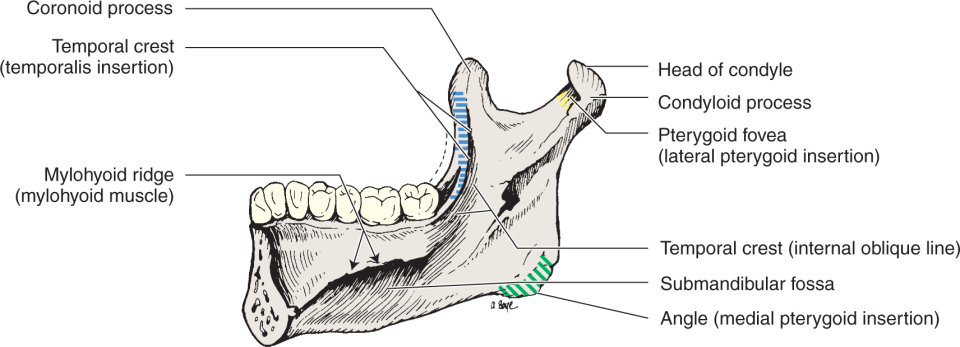 An illustration shows the mandible, medial surface, with the location of the muscle insertions of the temporalis, medial pterygoid, and lateral pterygoid muscles.