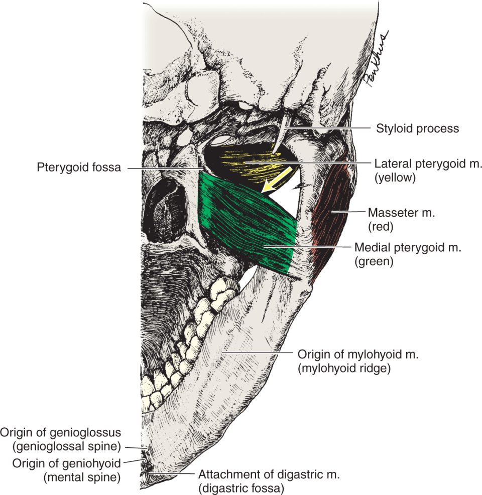 An illustration shows the skull from the inferior view.