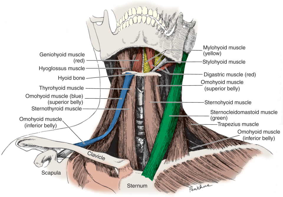 An illustration shows the anterior view of the muscles of the neck.