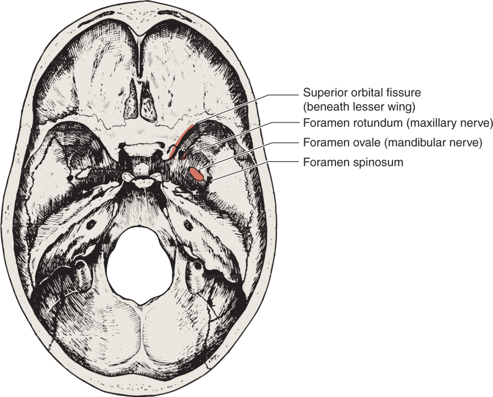 An illustration shows the inferior surface of the human skull.