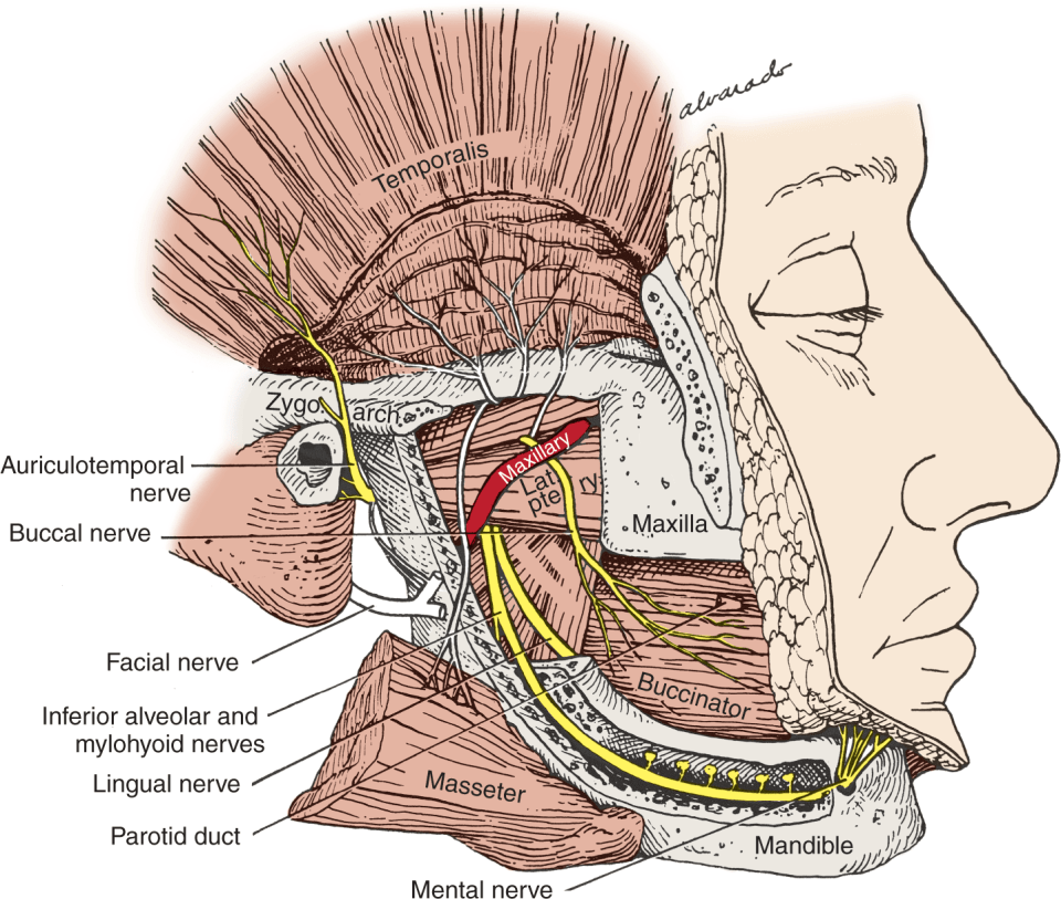 An illustration shows the external wall of the right mandible.
