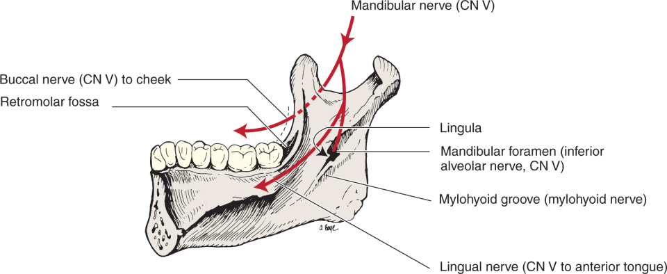 An illustration shows the human jaw.