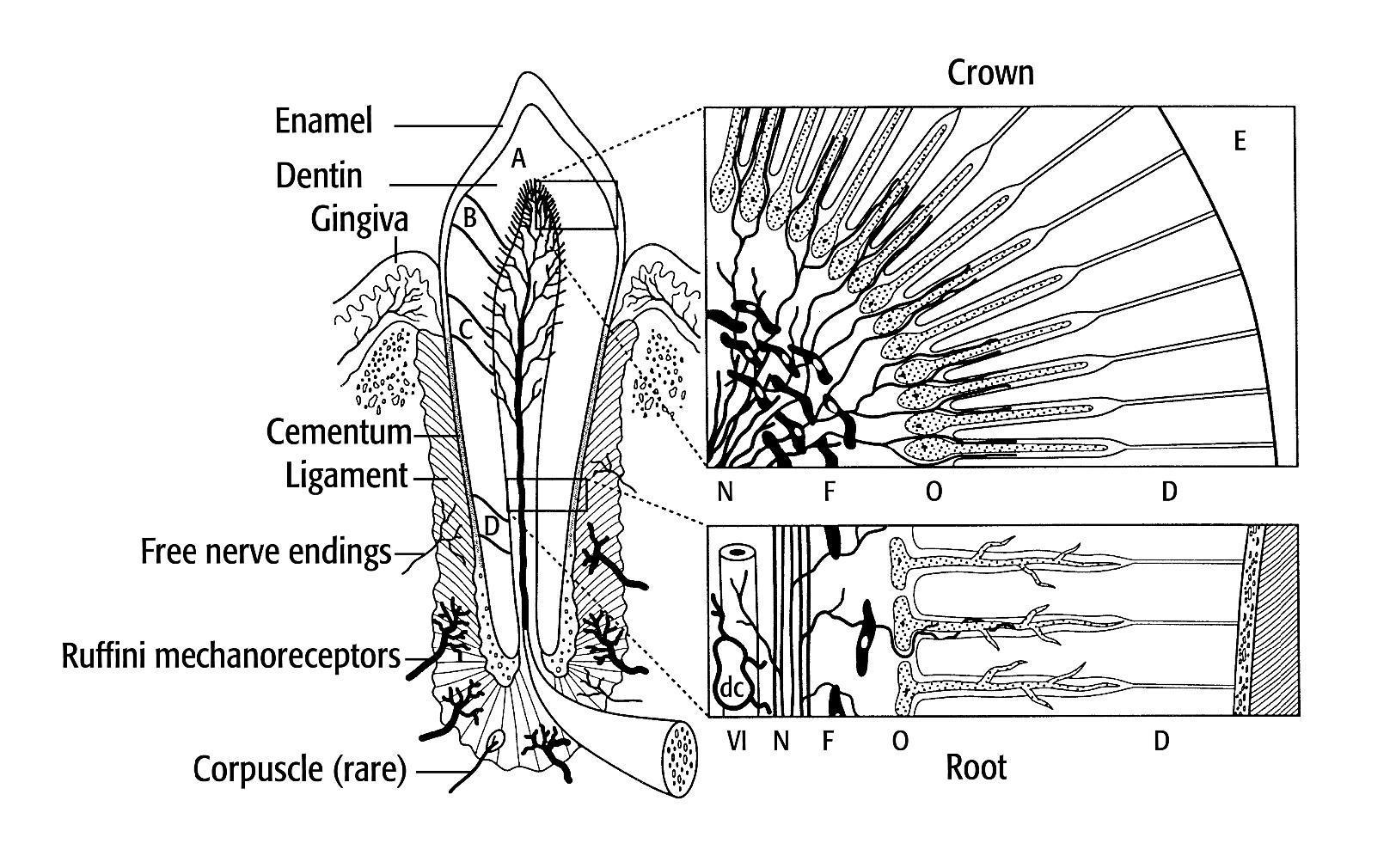 4 Peripheral Mechanisms Of Orofacial Pain