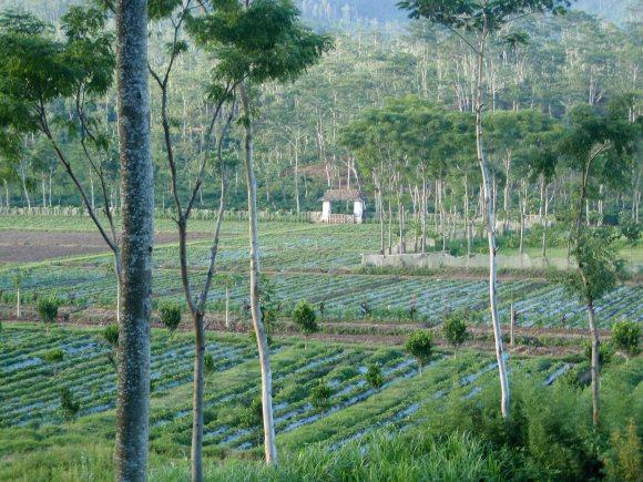 Coffee plantation at Ijen, Java