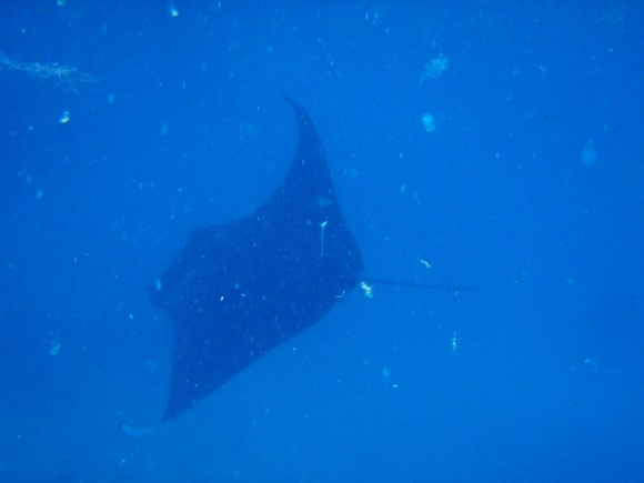 Manta Ray! These guys were HUGE!
