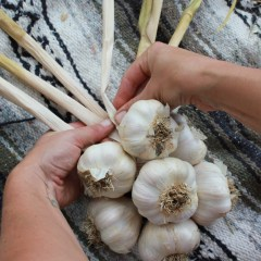 Learn how to braid garlic