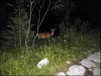 Sarna widziana podczas końcówki dojścia do schroniska - okolice Morskiego Oka (późny wieczór) - lipiec 2012