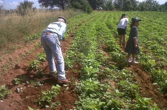 Come coltiviamo i nostri Fagioli Borlotti biologici