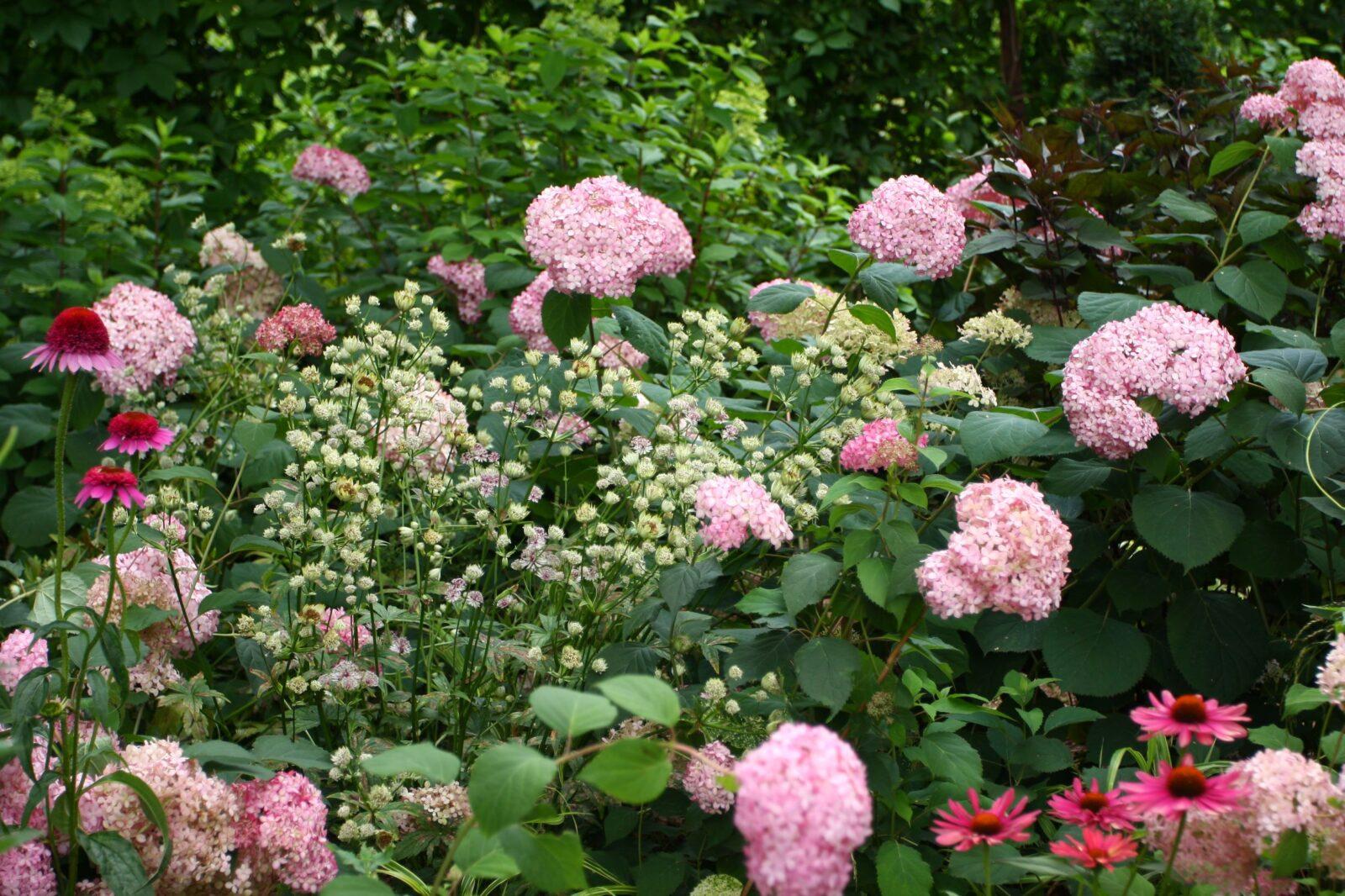 kwiaty do ogrodu cienistego: hortensje i jarzmianki