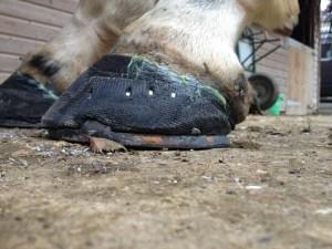 Hoof-cast-hind-nailed-1024x768
