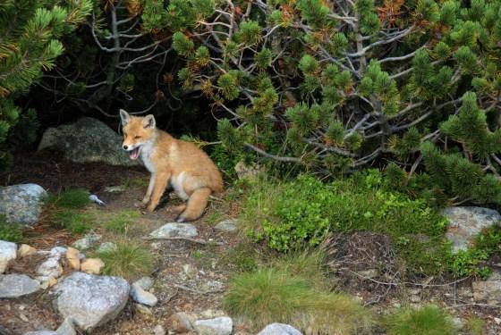fox-1419366_1920