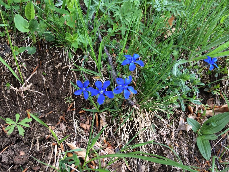 kwiaty Alpy; flora Alp