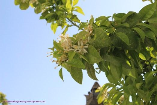 Cordoba_drzewa2