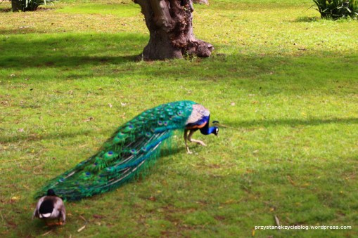 sevilla_alcazaba_peacock4