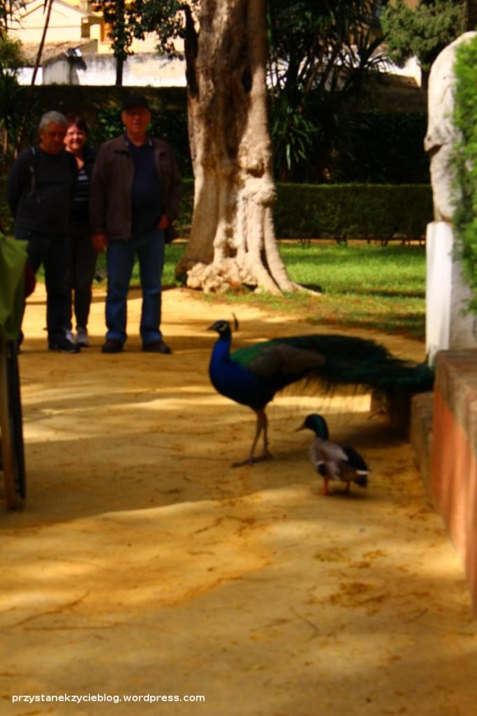 sevilla_alcazaba_peacock5